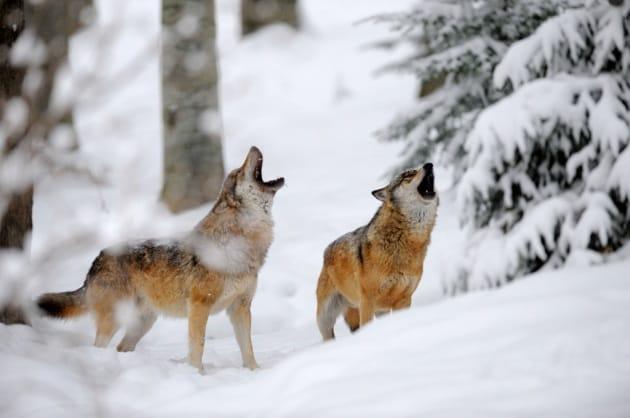 Il dialetto inconfondibile dei lupi