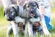 identical-puppies