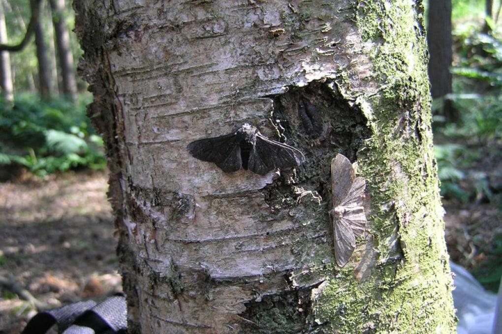 Come le farfalle dell'evoluzione divennero nere