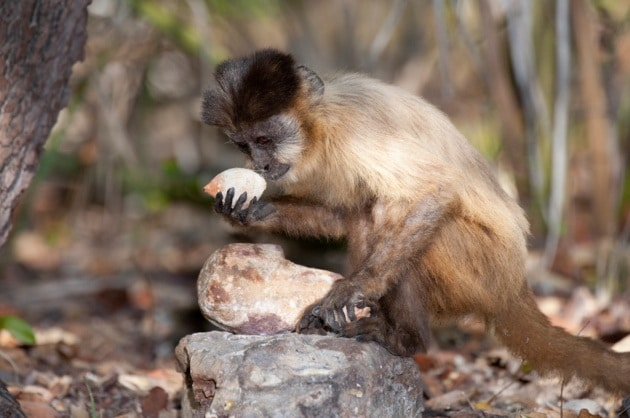 E la scimmia inventò... lo stuzzicadenti