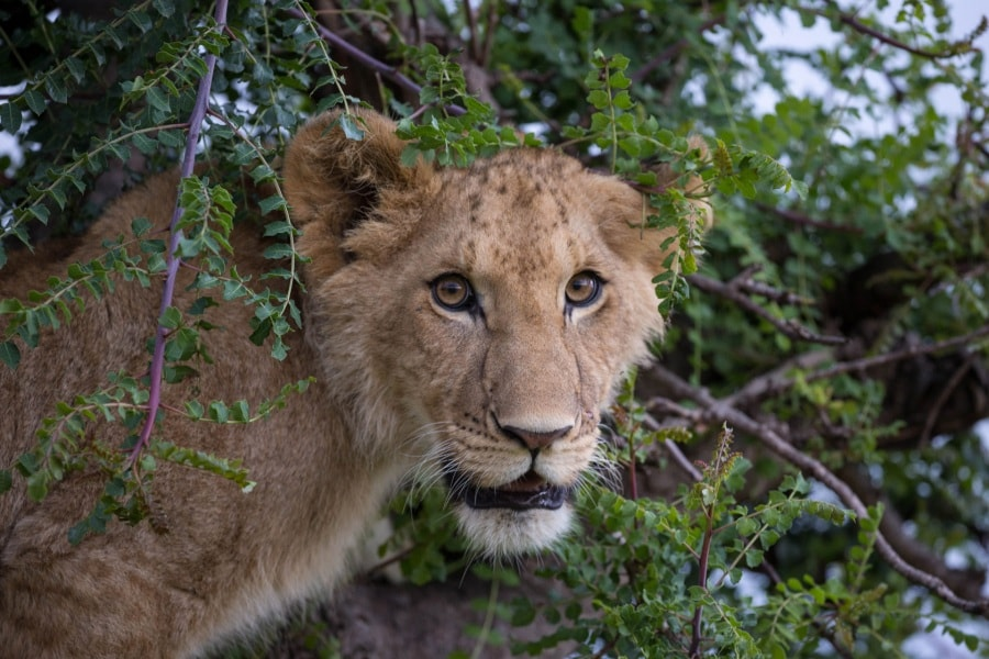 2016_01_12_kenyalive_day_06_lion_cubs_jpeg_resized_0029