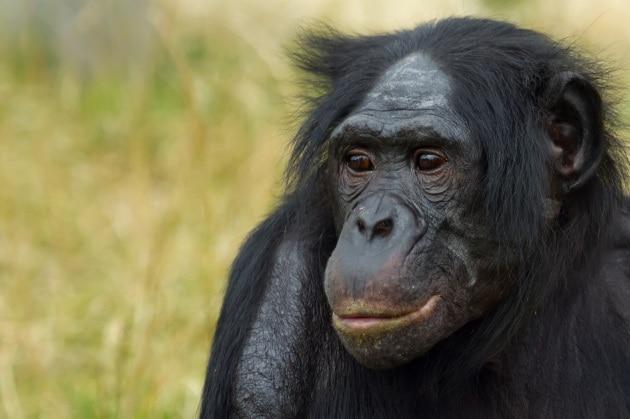 Come le femmine di bonobo ingannano i maschi