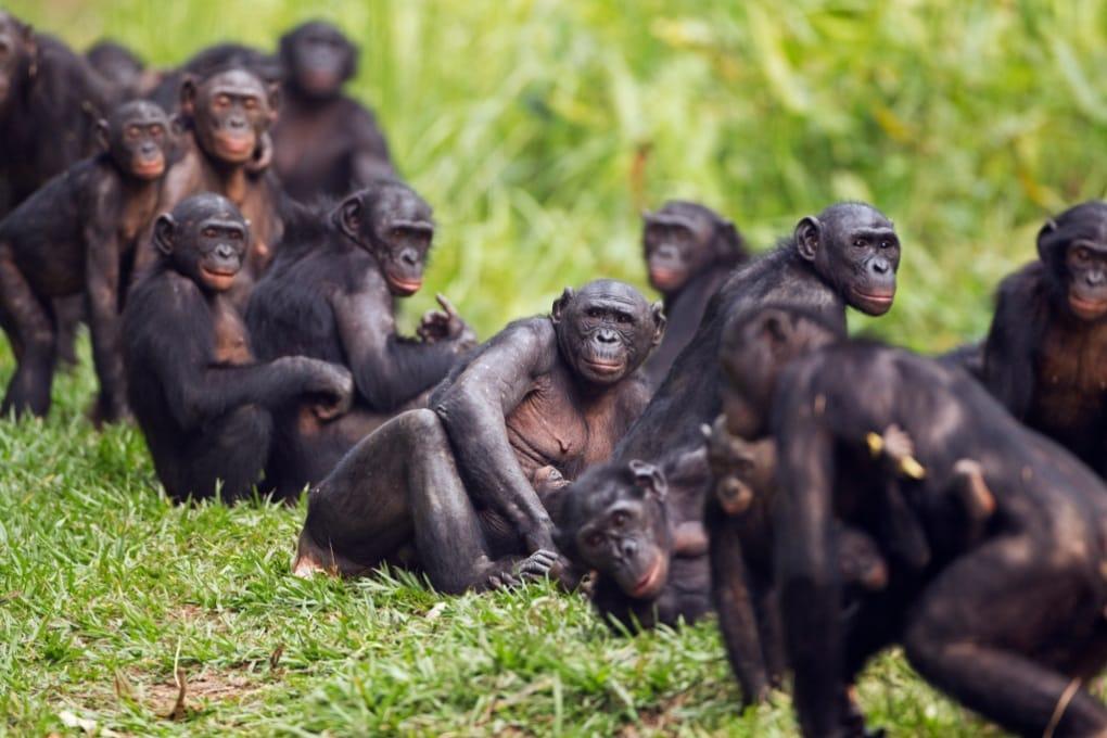 La solidarietà femminile tra i bonobo