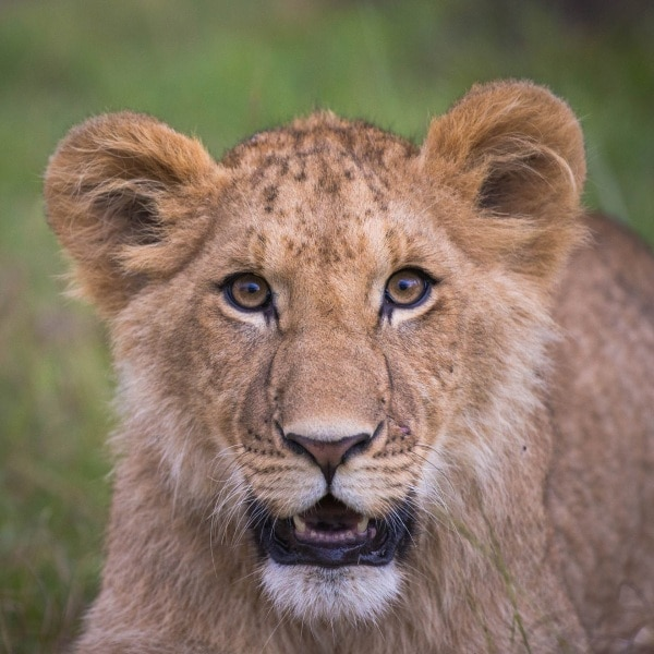 2016_01_12_kenyalive_day_06_lion_cubs_jpeg_resized_0037