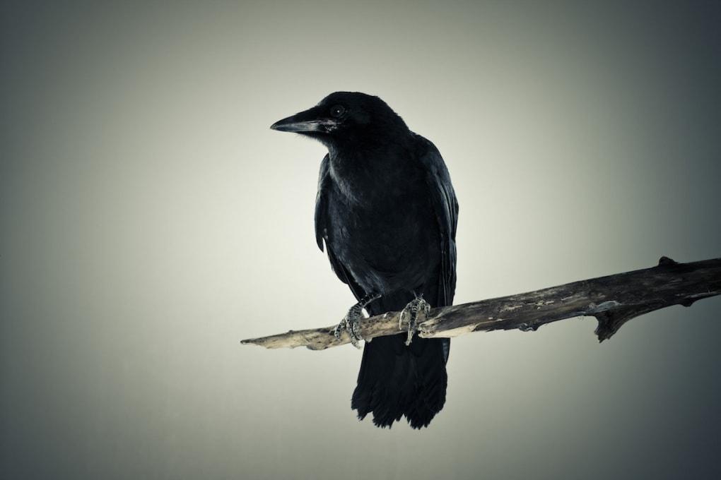 L'intelligenza del corvo: strategie per conservare gli strumenti