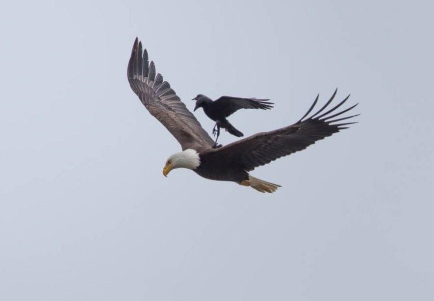 corvo-su-aquila_02