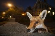 -samhobson_wildlifephotographeroftheyear