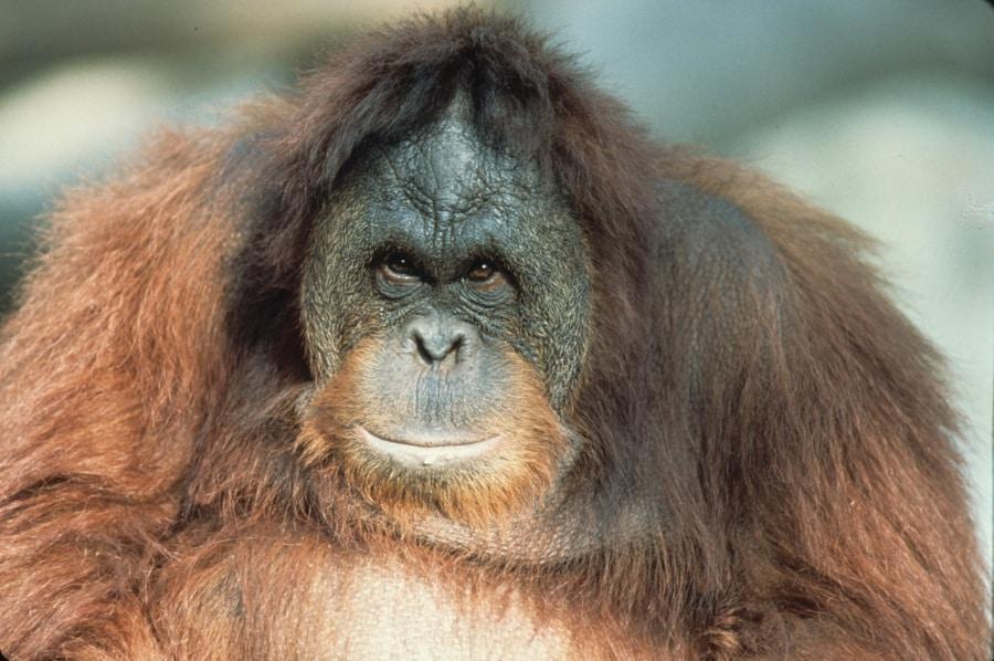 20-sumatran-orangutan-by-russell-a