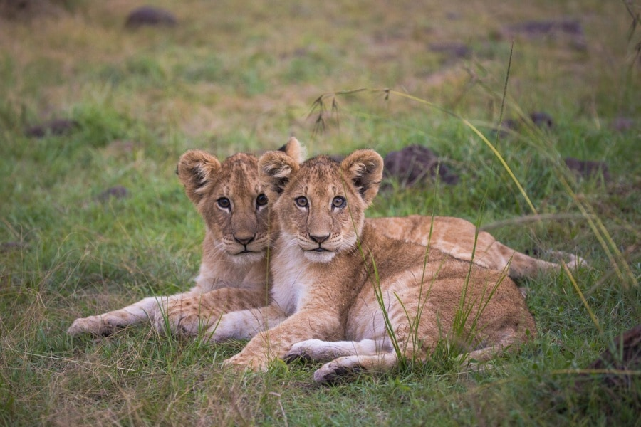 2016_01_12_kenyalive_day_06_lion_cubs_jpeg_resized_0039