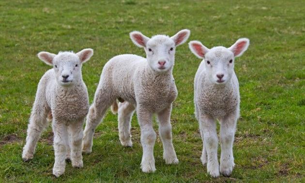 alamy_lambs