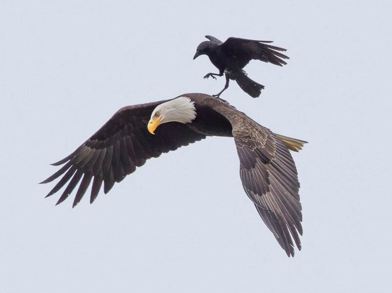 corvo-su-aquila_03