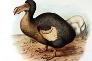 Il dodo, un genio incompreso