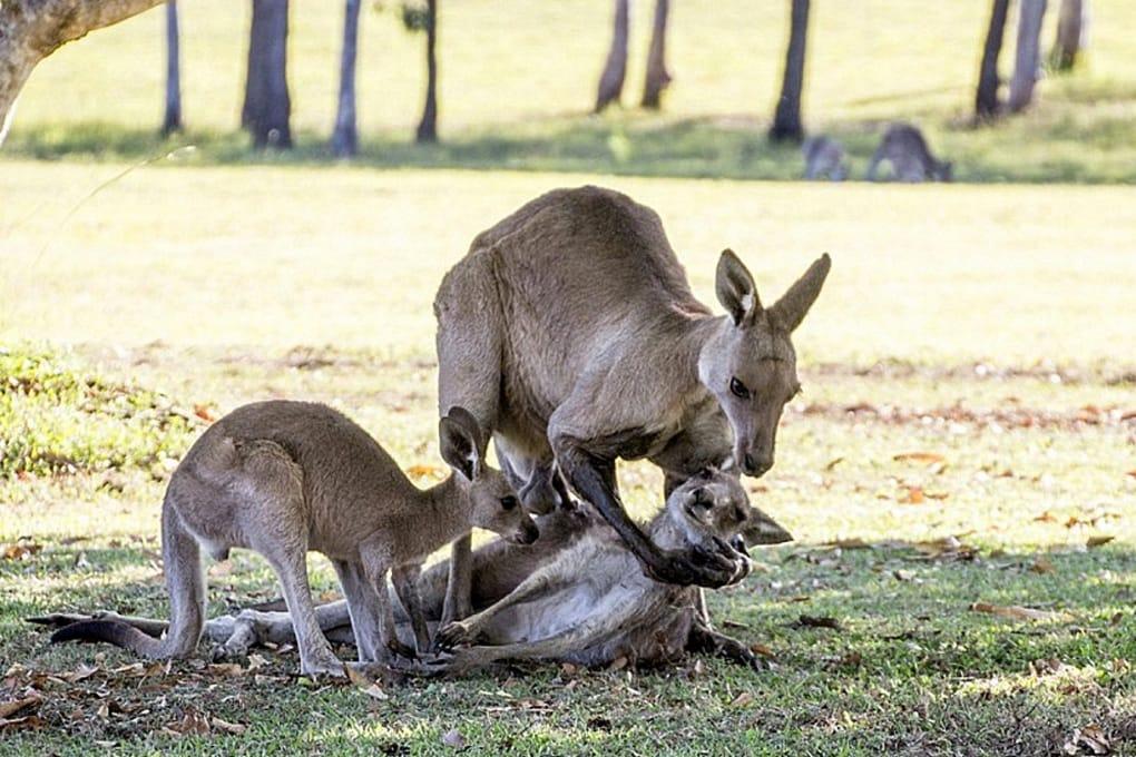 La verità dietro alla foto dei canguri