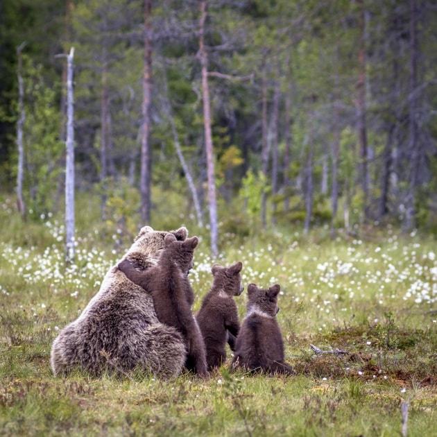 Lezioni di arrampicata per cuccioli d'orso