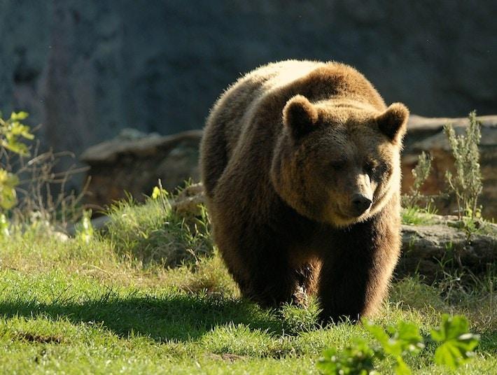 Il mondo senza l 39 uomo un grande serengeti - Immagini di orsi da colorare in ...