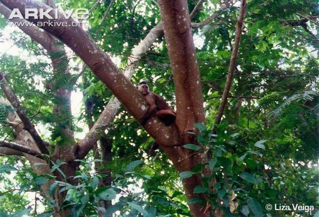 21-kaapor-capuchin-in-tree