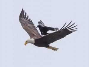 Il corvo a spasso sull'aquila