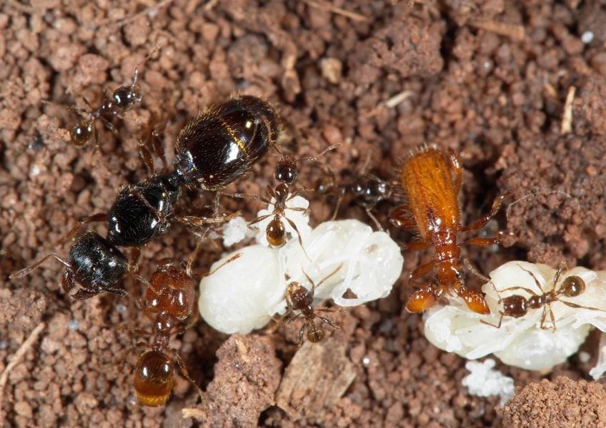 il-coleottero-parassita-che-parla-alle-formiche_02