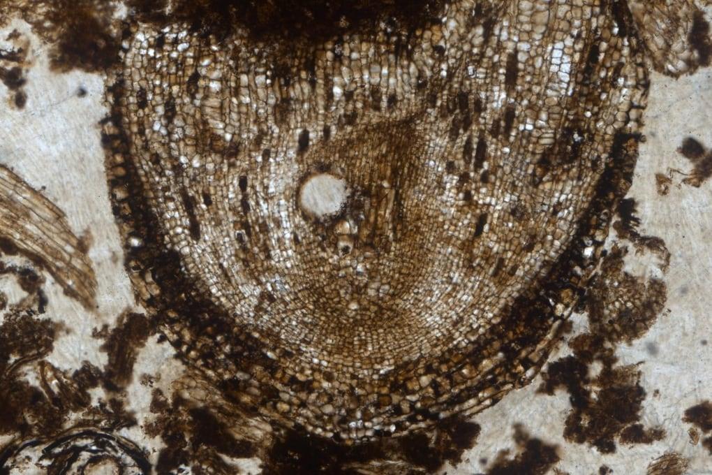 Le staminali di una pianta di milioni di anni fa