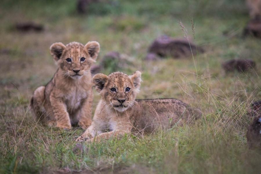 2016_01_12_kenyalive_day_06_lion_cubs_jpeg_resized_0042