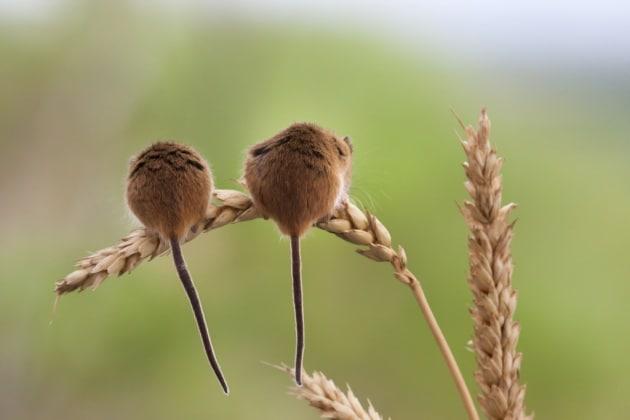 Il batterio che cura i topi dalla sociofobia
