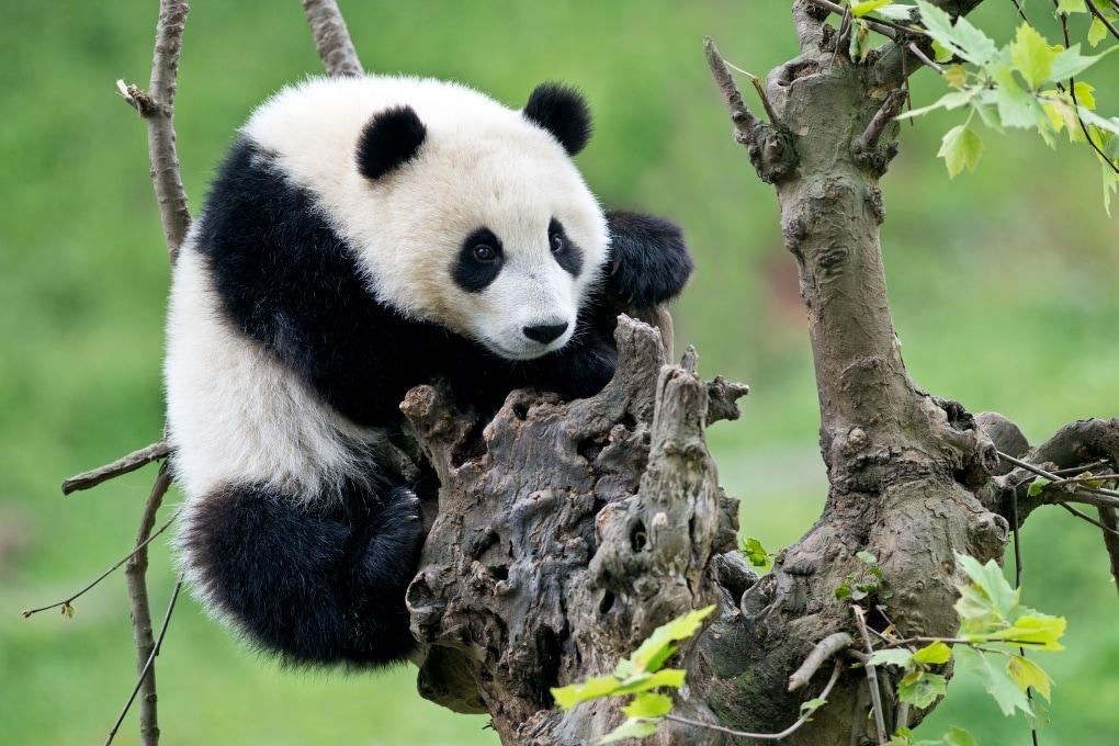 Il panda gigante non è più una specie a rischio