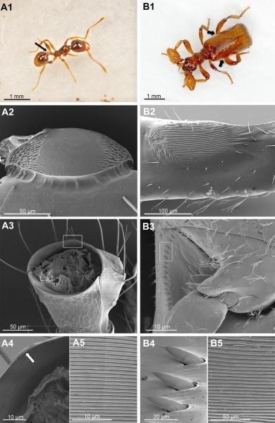 il-coleottero-parassita-che-parla-alle-formiche_03