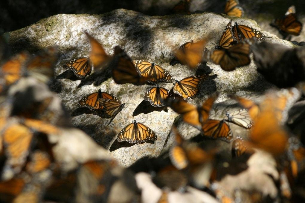 La bussola integrata delle farfalle monarca