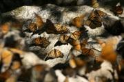 monarchs_resting_on_rocks