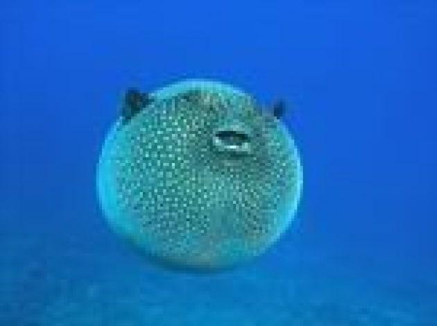 Alimenti allarme pesce palla tossico nei nostri mari non for Pesce palla immagini