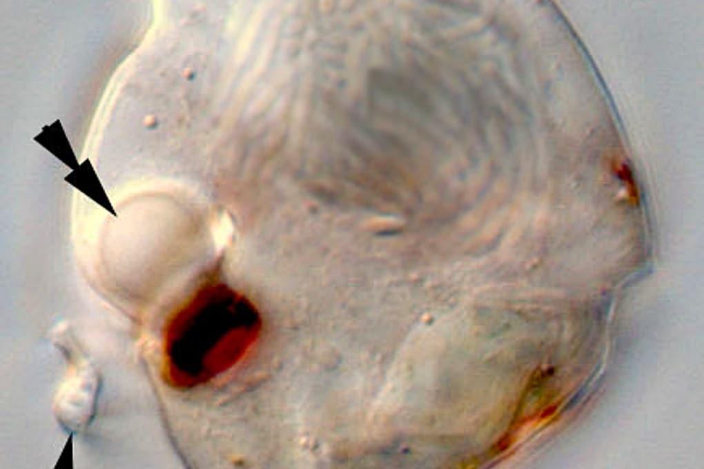 Il plancton dall'occhio (quasi) umano