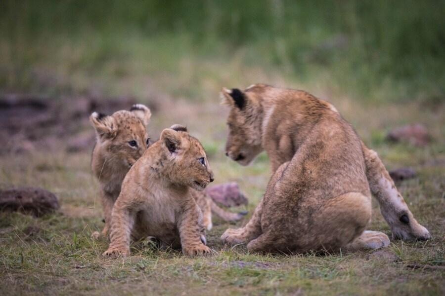 2016_01_12_kenyalive_day_06_lion_cubs_jpeg_resized_0045