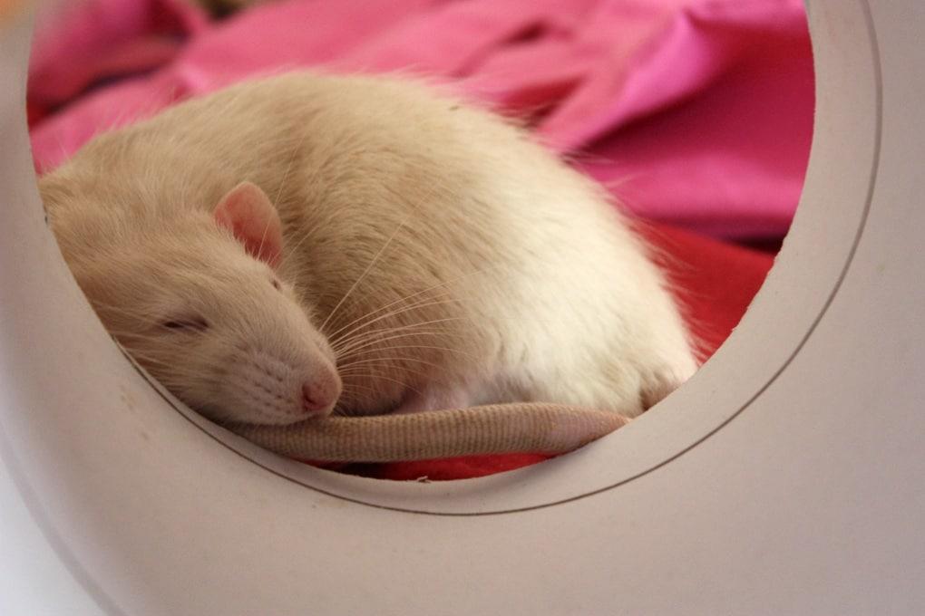 Che cosa sognano i ratti, quando dormono?