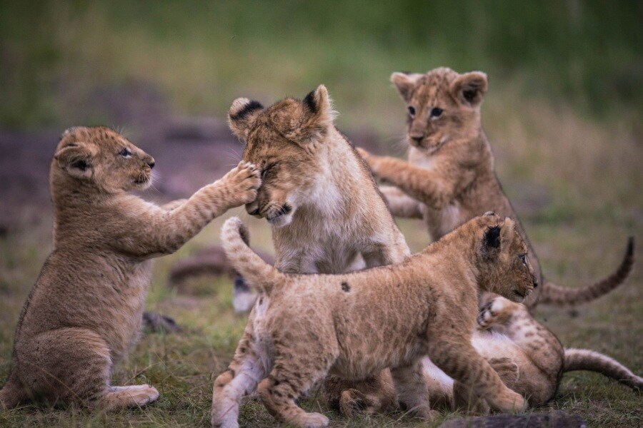 2016_01_12_kenyalive_day_06_lion_cubs_jpeg_resized_0047