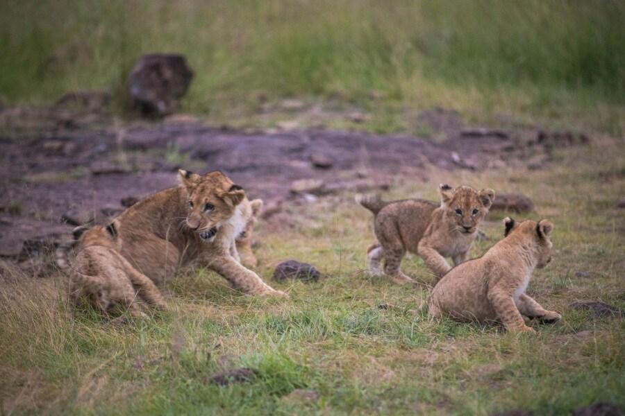2016_01_12_kenyalive_day_06_lion_cubs_jpeg_resized_0054
