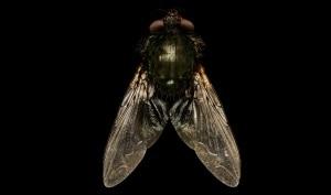 mosche, visione delle mosche, insetti, ommatidi, occhio composto