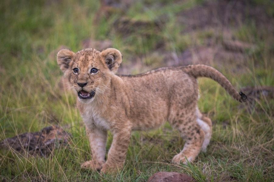 2016_01_12_kenyalive_day_06_lion_cubs_jpeg_resized_0056