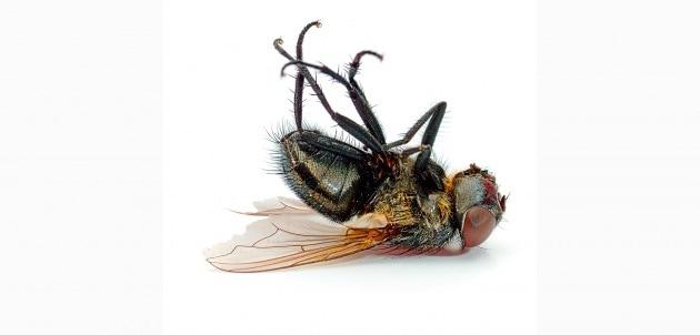 Le mosche che sbattono sul vetro si fanno male?