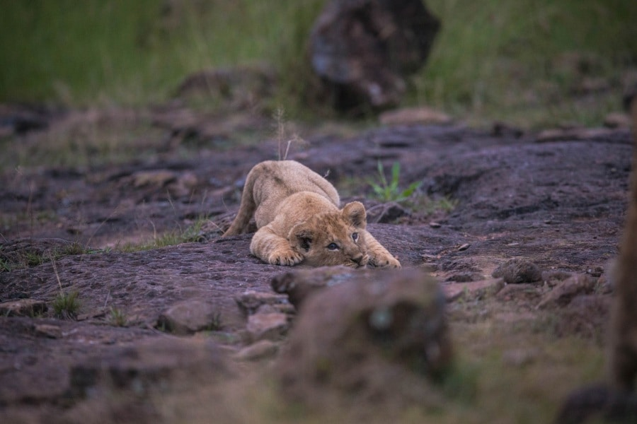 2016_01_12_kenyalive_day_06_lion_cubs_jpeg_resized_0061