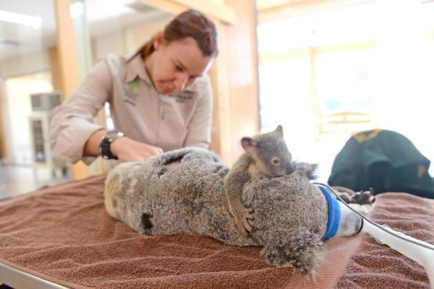 L'abbraccio salva vita del baby koala