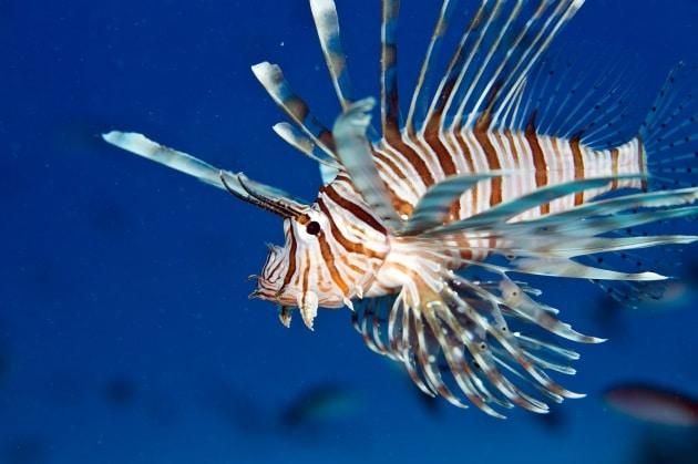 Come difendere la natura dal pesce scorpione? Mangiamolo!