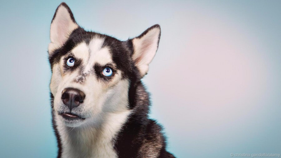spl_dogs