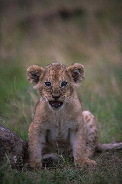 2016_01_12_kenyalive_day_06_lion_cubs_jpeg_resized_0069