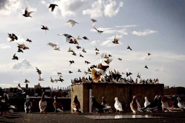 Dove vanno a morire i piccioni?