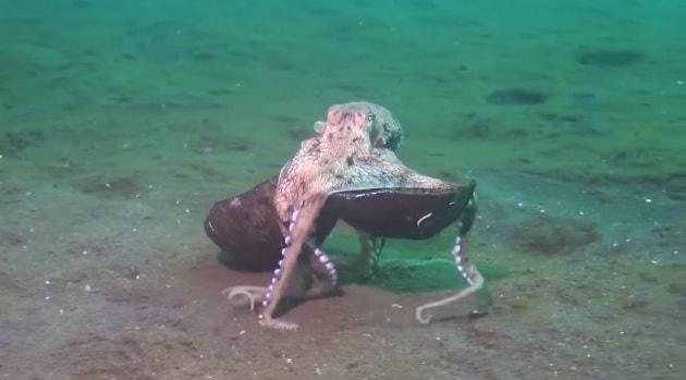 Il polpo geniale che trasporta la sua corazza di cocco
