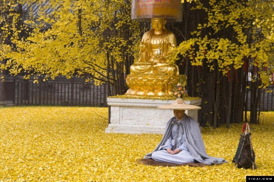 Cina, l'albero di Ginkgo dalle foglie d'oro