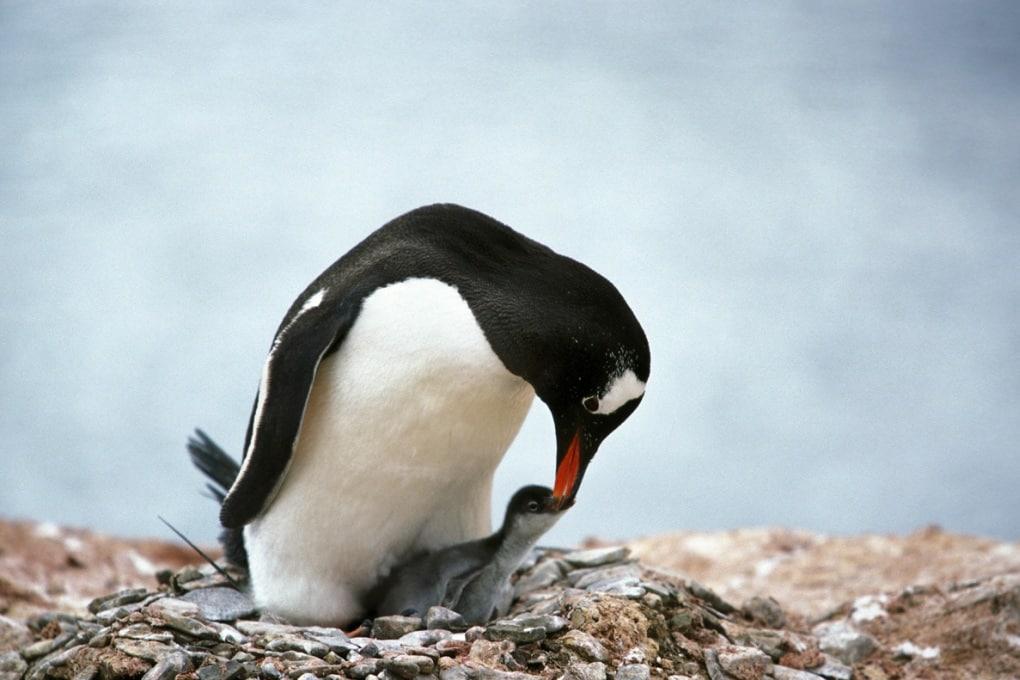 I pinguini sciolgono la neve con la cacca