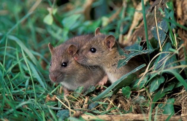Cellule vecchie addio, e i topi ringiovaniscono