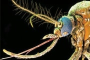 mosquito-aedea-aegyoti