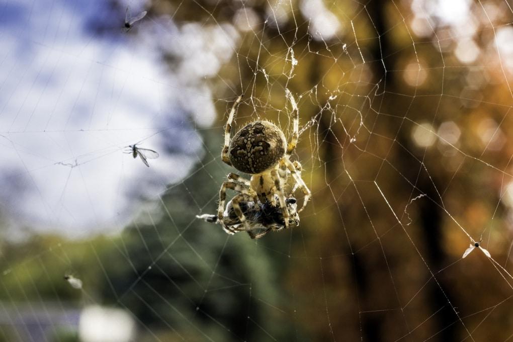 Così i ragni accordano le ragnatele